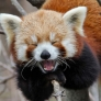 Red panda is very amused