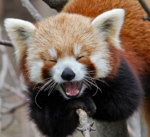 Red panda is very amused | Teh Cute - Cute puppies, cute kittens ...