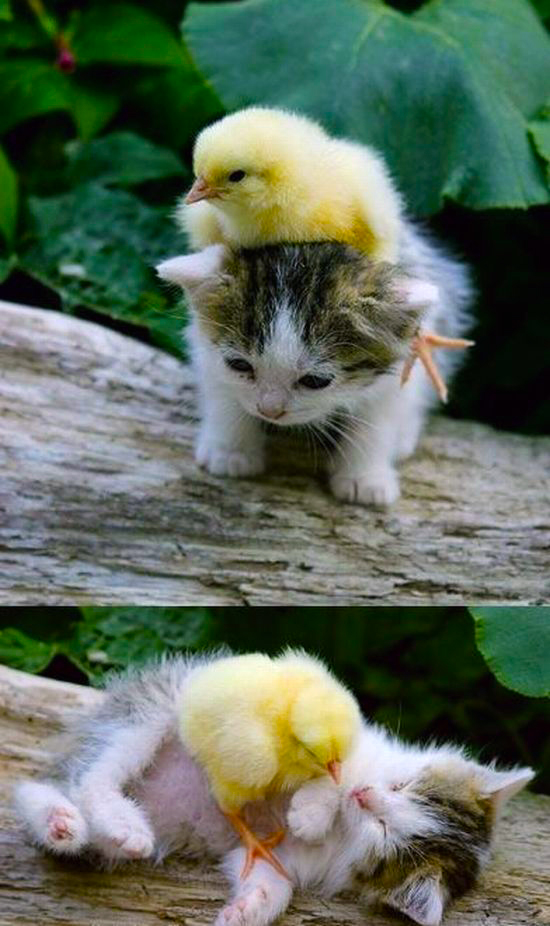 Chick on a kitten... Twice.