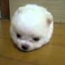 Cotton ball doggy