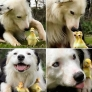 Dog and the little ducklings