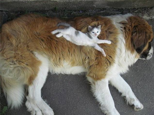 Kitty on saint bernard