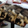 Husky puppies sleeping on a table