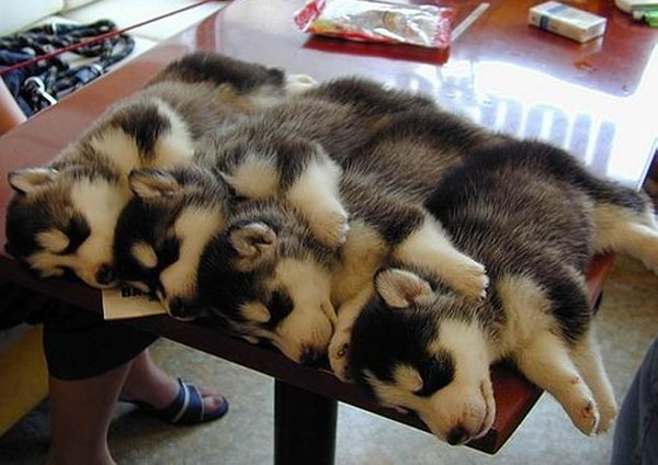 husky puppies sleeping on a table spooning puppies tags cute puppies ...