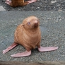 Cute lonely ginger seal puppy