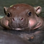 Baby hippo is cute
