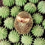 Camouflaged hedgehog