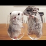 Chinchillas in wine glasses