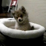 Pomeranian puppy howls at wolves