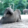 Baby elephant rides his mother
