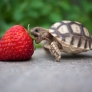 Baby turtle eats strawberry