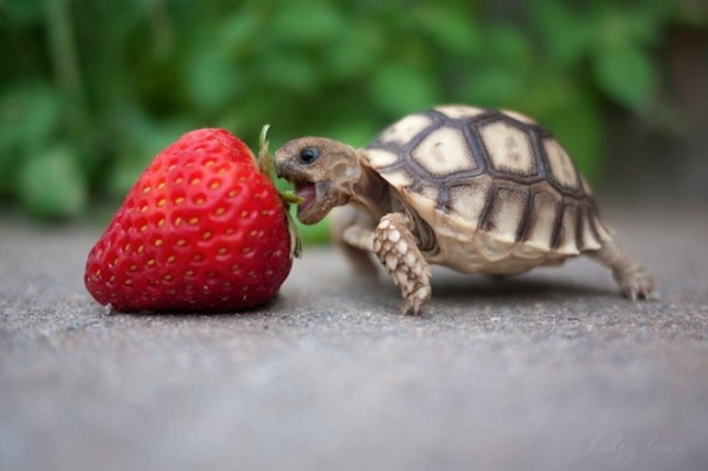 Baby turtle eats strawberry - Teh Cute