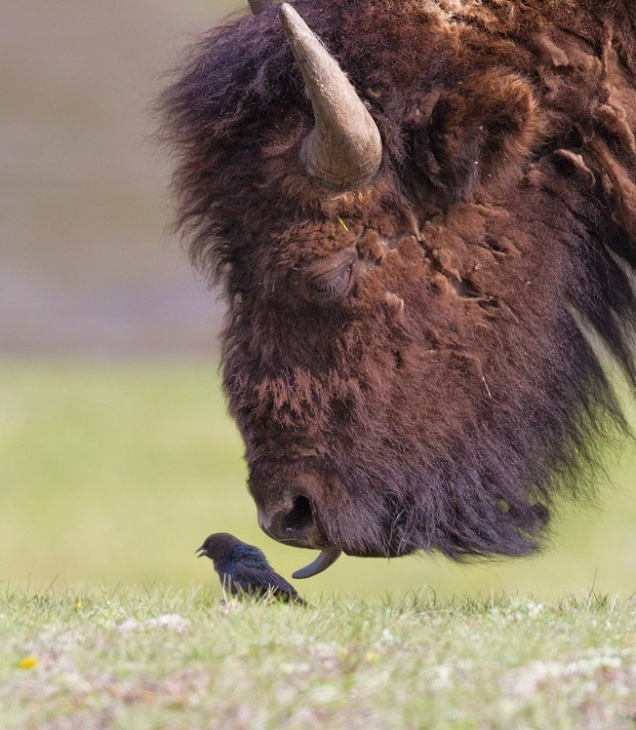 Buffalo licks bird