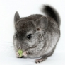 Chinchilla eating a piece of kiwi