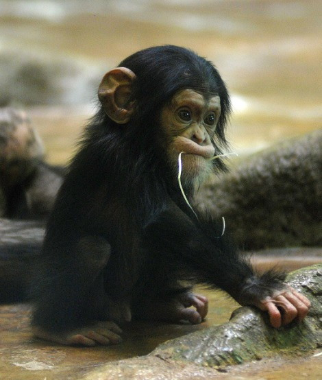 Cute baby chimp