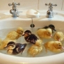 Ducklings in a sink