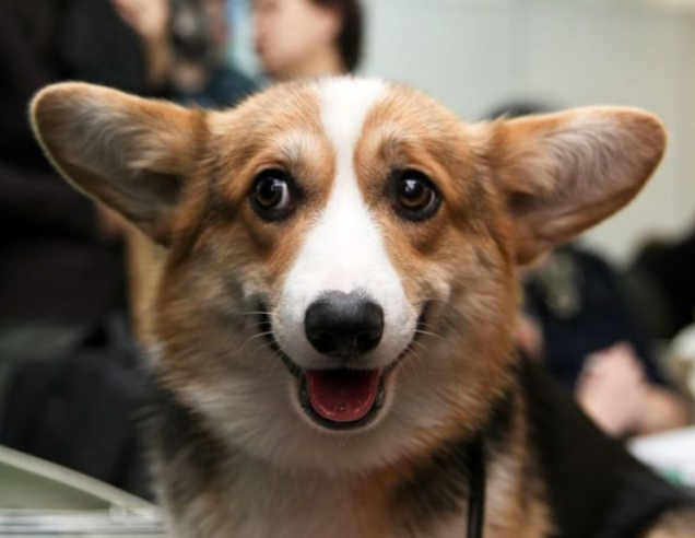 Happy corgi - Teh Cute