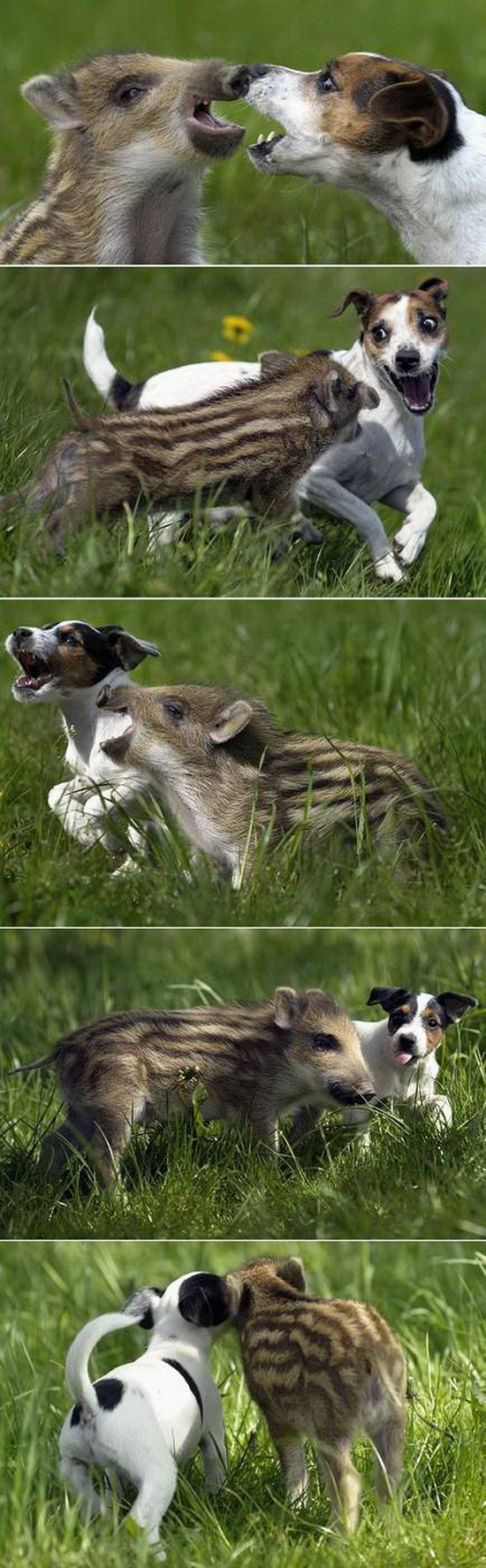 Jack Russell and baby boar are friends