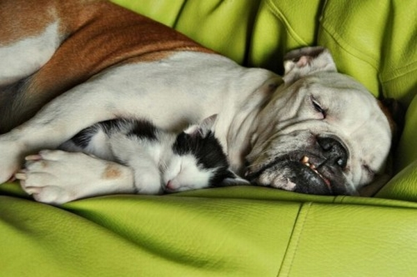 kitten-sleeping-on-a-bulldog.jpg