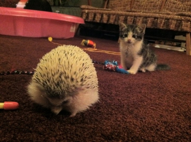Kitten vs. hedgehog