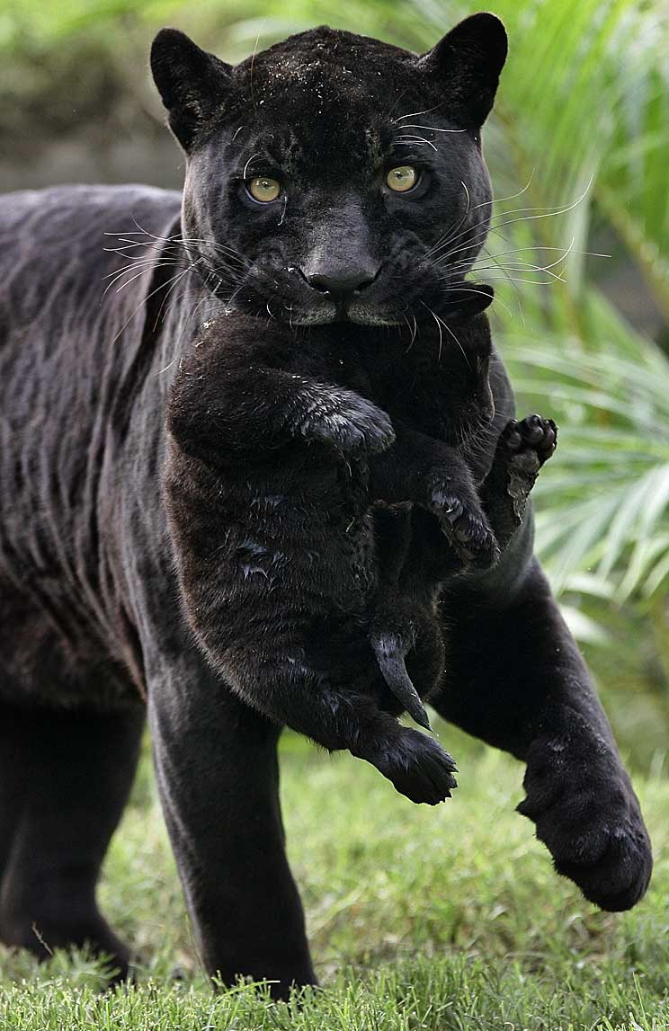 Baby panther cubs - photo#14