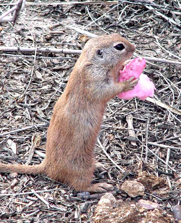 Prairie dog is eating cotton candy