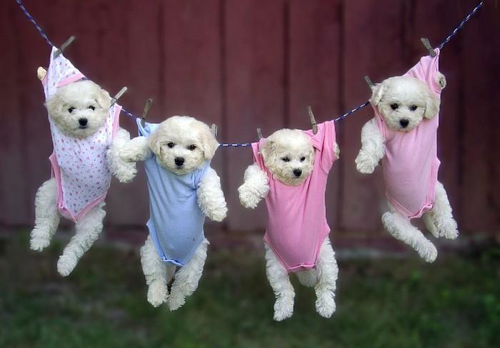 Puppies hanging in baby clothes teh cute puppies hanging in baby clothes voltagebd Image collections