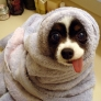 Puppy with hanging tongue in a towel