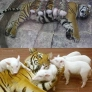 Tiger vs. piglets