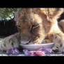 Lion cub eats milk