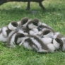 A pile of baby ducks
