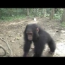 Baby chimp gets dizzy