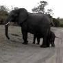 Baby elephant sneezes, scares himself