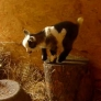 Baby goat jumping and playing