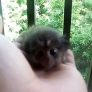 Baby marmoset licks camera