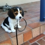 Beagle puppy wants to go for a walk