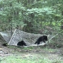 Bear cubs play with hammock