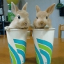 Bunnies in cups