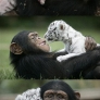 Chimp and white tiger are friends