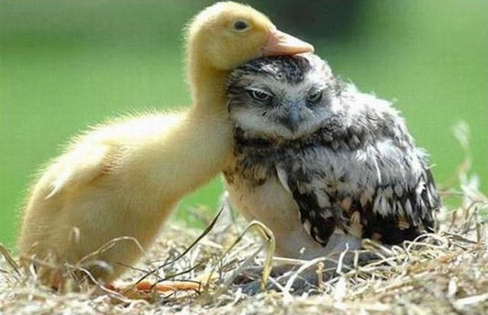 Image of: Vector Duckling And Baby Owl Teh Cute Duckling And Baby Owl Teh Cute