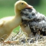 Duckling and baby owl