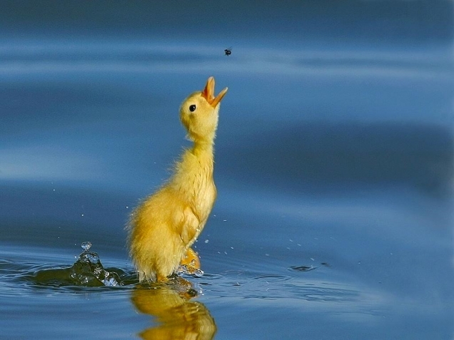 Duckling goes for fly