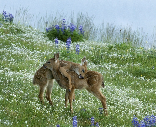 Fawns hugging