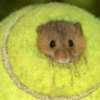 Hamster in a tennis ball