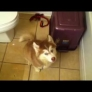 Husky puppy does not want to take a bath