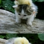 Kitten playing with chick