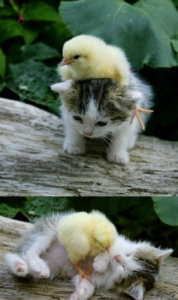 www.tehcute.com/pics/201110/kitten-playing-with-chick.jpg