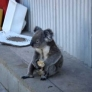 Koala eats an apple