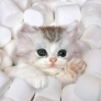 Marshmellow kitten