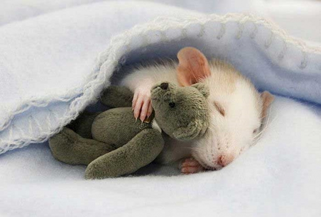 Rat sleeping with teddy bear